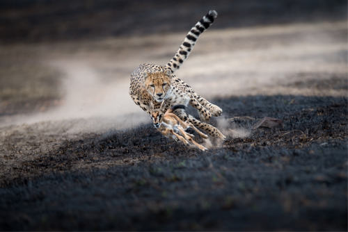 thomas_vijayan_an-astonishing-chase_masai-mara-kenya